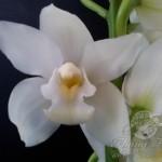 Vanilla (May-August)