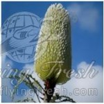 Banksia (December-June)