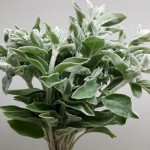 Stachys Lamb's Ear