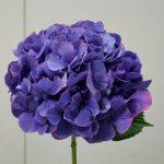Masja Purple