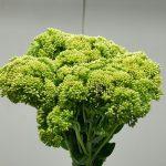 Sedum Green