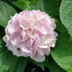 Irene Soft Pink