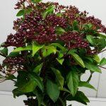 Viburnum Tinus Berries